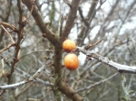 Hippophae rhamnoides (Sea-Buckthorn) berries - usually brilliant orange and faded now, collectively they still give off a gentle orange haze.
