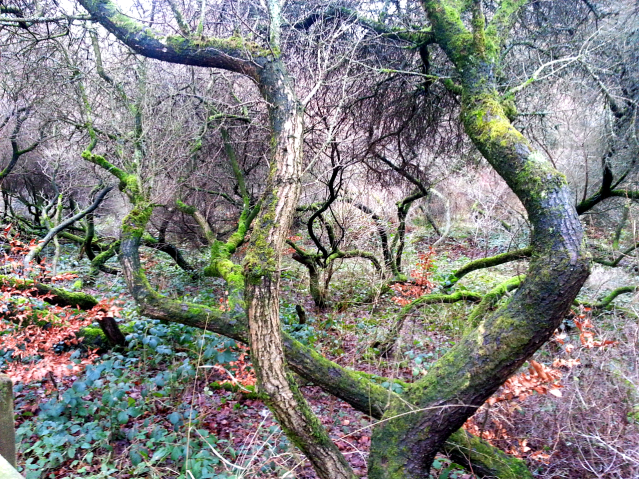 Brilliantly dark and twisted Sea-Buckthorn trunks covered in moss.